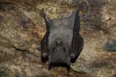Maramagambo Forrest - Bat