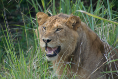 Ishasha - Tree-climbing Lions