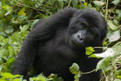 Bwindi - Mountain Gorilla