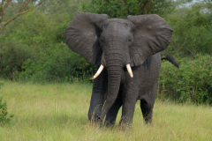 Ishasha - Elephant