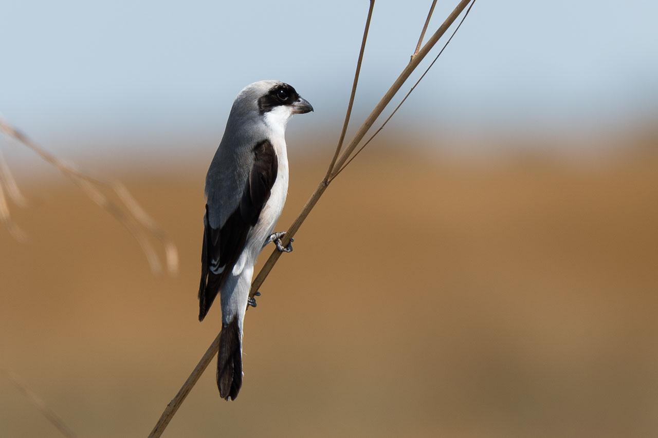 Liuwa Plain National Park - Grey-backed fiscal