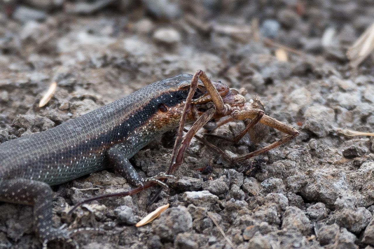 Kafue National Park - Lizard grabs spider