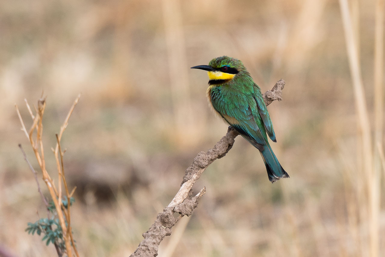 South Luangwa National Park - Little bee-eater