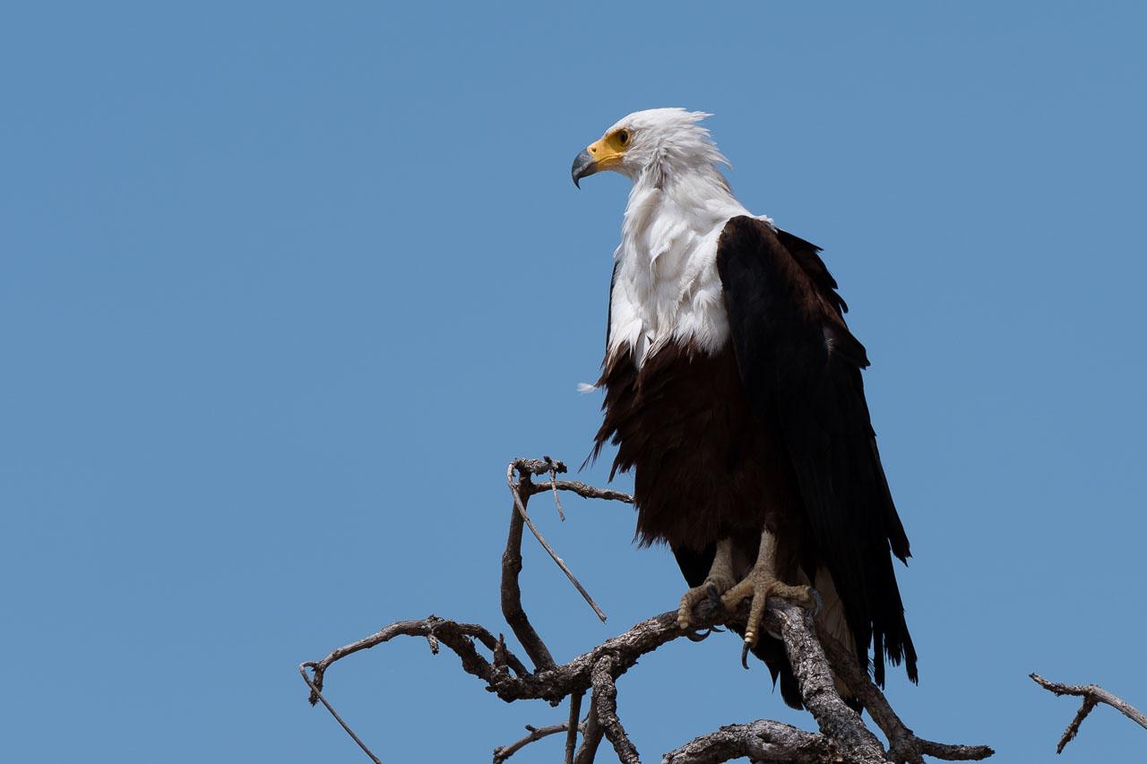 South Luangwa National Park - Fish eagle