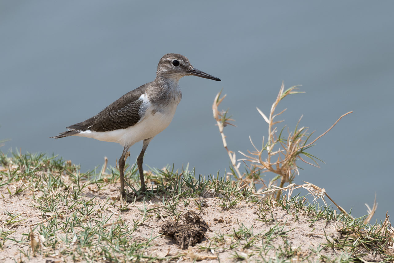 South Luangwa National Park - Common sandpiper