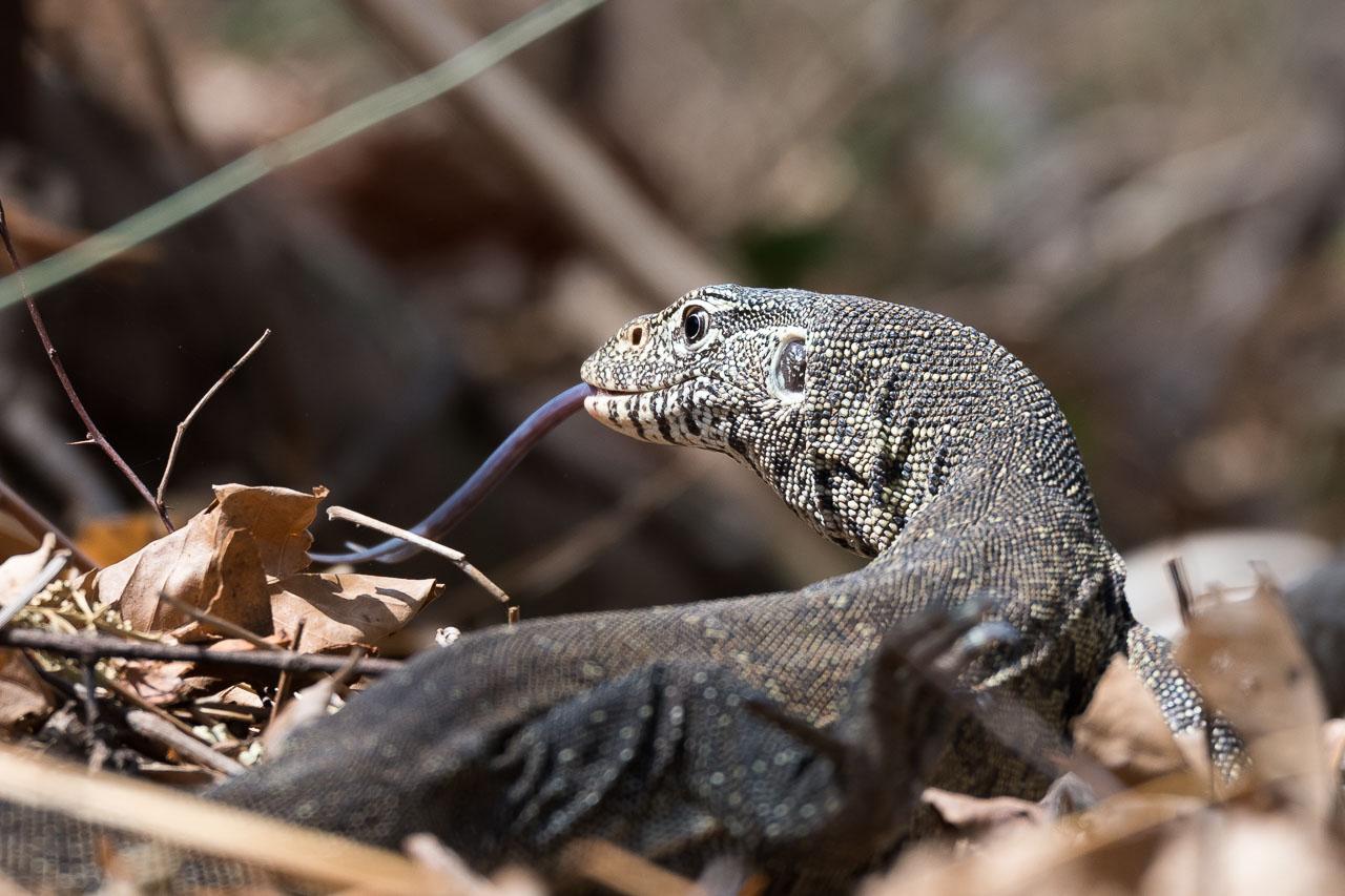 South Luangwa National Park - Monitor lizard