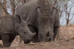 Mosi-Oa-Tunya National Park - White rhinoceros