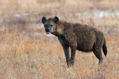 Liuwa Plain National Park - Spotted hyena (f)