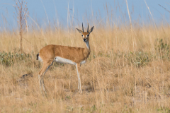 Liuwa Plain National Park - Oribi (m)