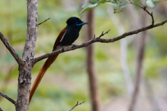 Liuwa Plain National Park - Paradise flycatcher