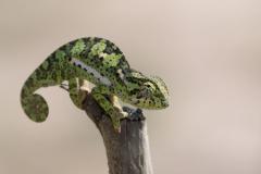 Liuwa Plain National Park - Chameleon