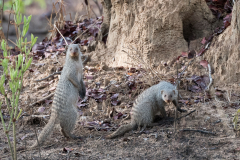 Kafue National Park - Banded mongoose