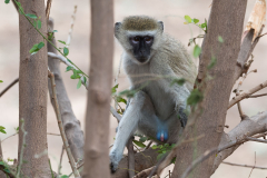 South Luangwa National Park - Vervet monkey