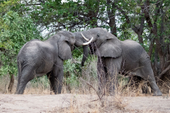 South Luangwa National Park - Elephant