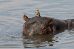 South Luangwa National Park - Hippo and oxpecker