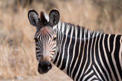 South Luangwa National Park - Crawshay's zebra