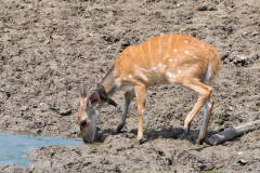 South Luangwa National Park - Bushbuck