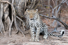 South Luangwa National Park - Leopard