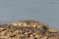 South Luangwa National Park - Nile crocodile
