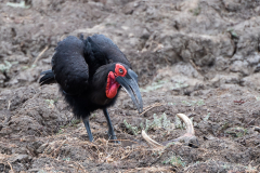 South Luangwa National Park - Ground hornbill