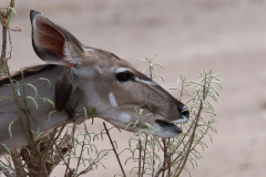 South Luangwa National Park - Kudu and oxpecker