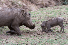 South Luangwa National Park - Warthog