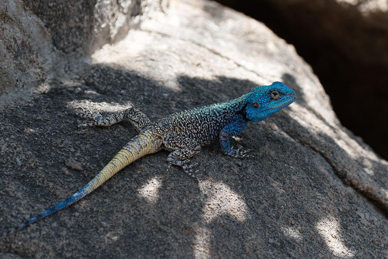 Matobo NP - Blue-headed tree agama