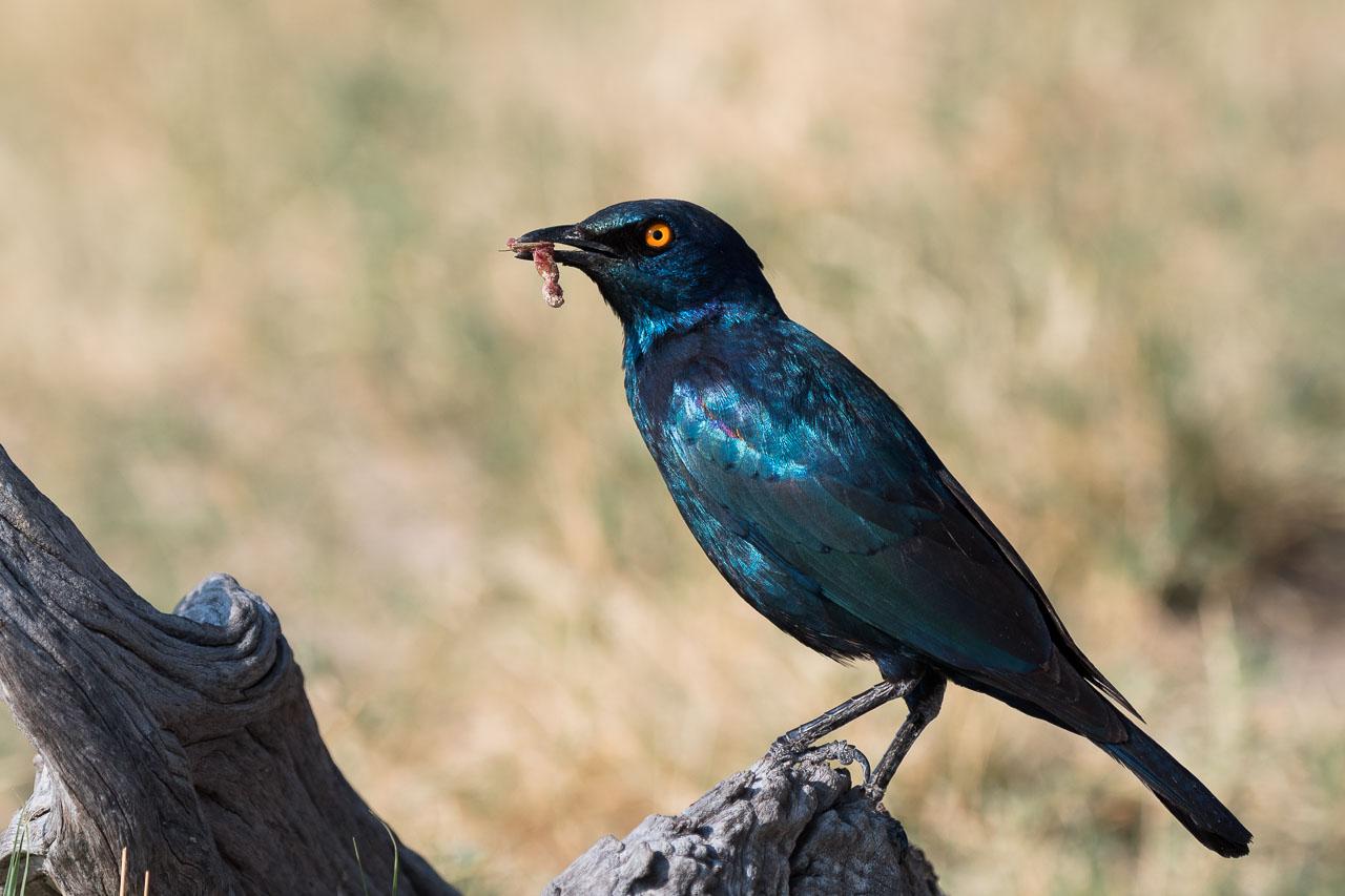 Hwange NP - Cape starling
