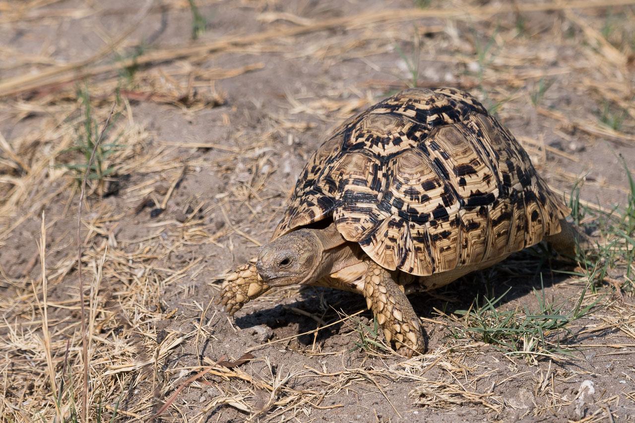Hwange NP - Leopard tortoise