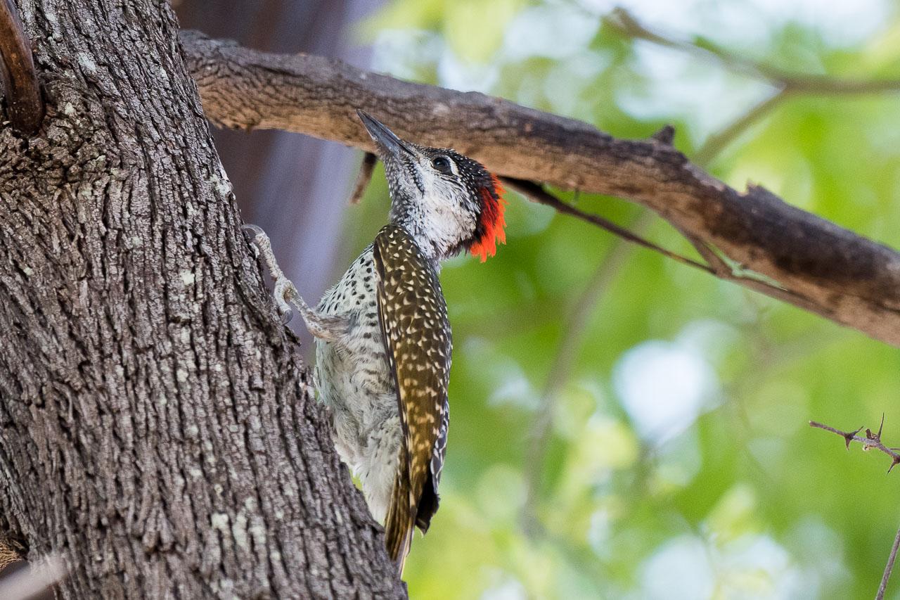 Hwange NP - Woodpecker