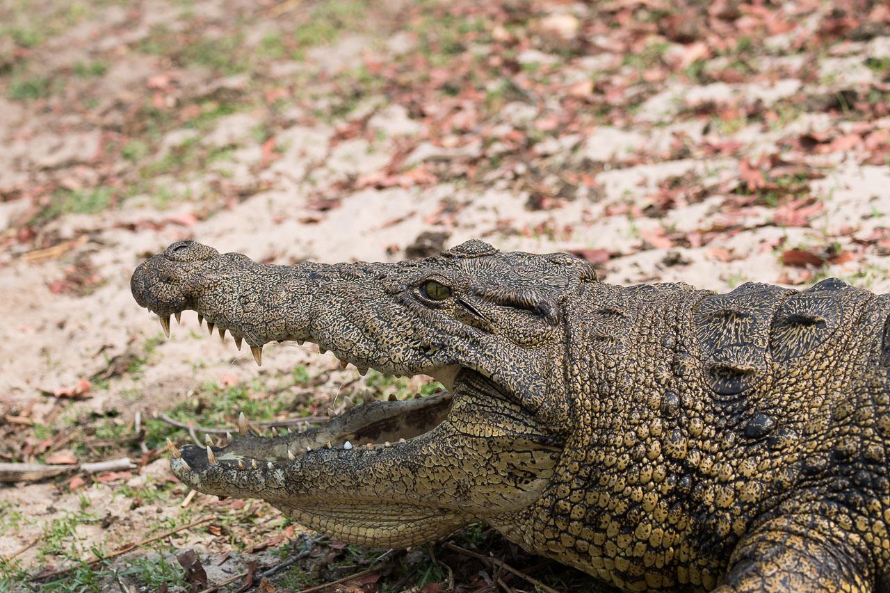 Chobe NP - Nile crocodile
