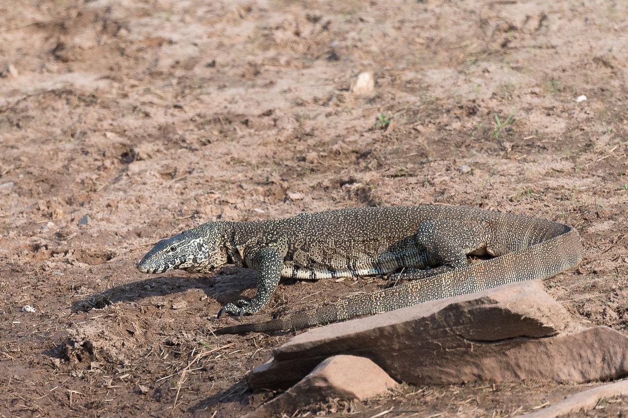 Matusadona NP - Monitor lizard