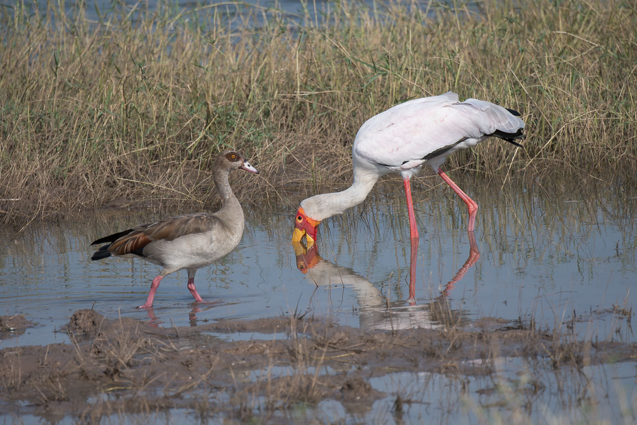 Matusadona NP - Yellow-billed stork, Egyptian goose