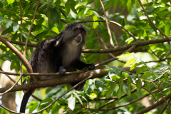 Eastern Highlands - Samango monkey