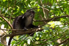 Eastern Highlands - Samango monkey
