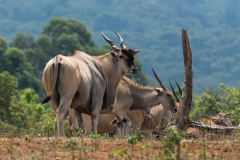 Eastern Highlands - Eland antilope