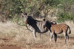 Lake Kyle - Burchell's zebra