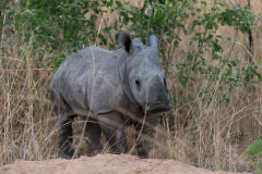 Matobo NP - White rhinoceros