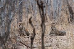 Hwange NP - Cheetah