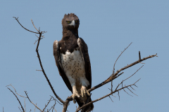 Hwange NP - Martial eagle