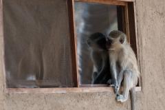 Hwange NP - Vervet monkey