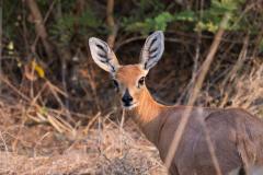 Hwange NP - Steenbok