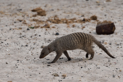 Chobe NP - Zebra mongoose