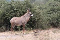 Chobe NP - Roan antilope