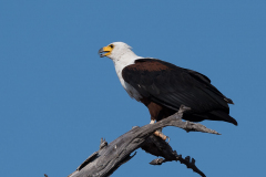 Matusadona NP - Fish eagle
