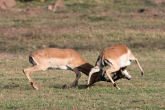 Matusadona NP = Impala