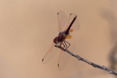 Matusadona NP - Dragonfly