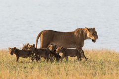 Matusadona NP - Lion