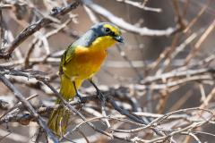 Matusadona NP - Orange-breasted bushshrike